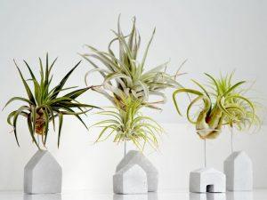 Luchtplantjes: wat is een luchtplantje?